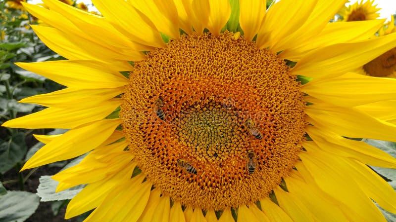 Piękny słonecznika zbliżenie z pszczołami obrazy royalty free