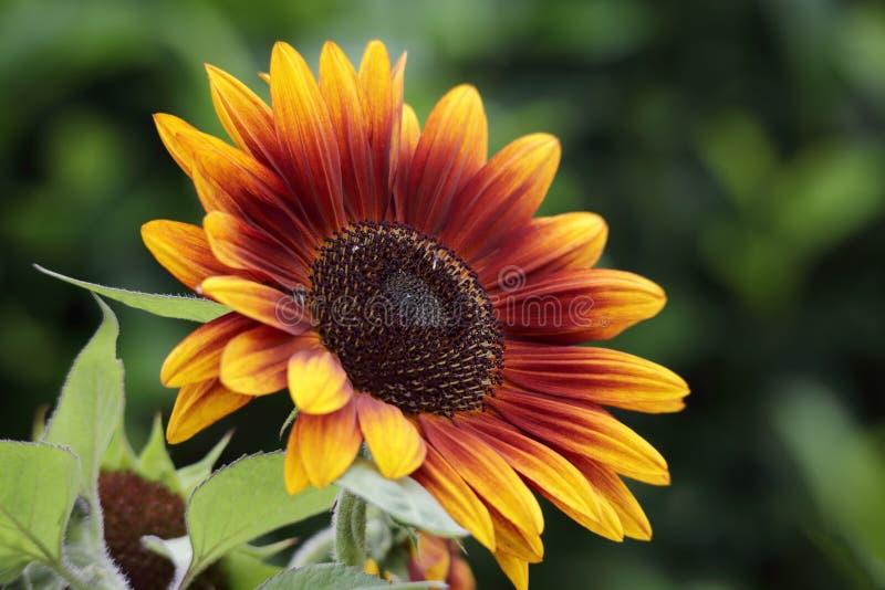 Piękny słonecznikowy kwitnący lato obraz royalty free