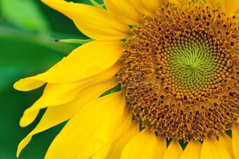 Piękny słonecznikowy kwitnienie przy ogródem obraz stock