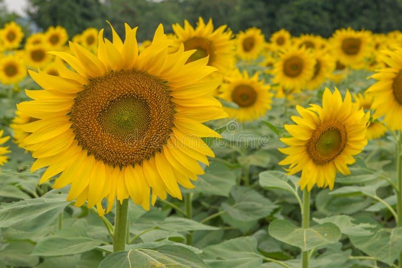 piękny Słonecznikowy kwitnienie w słonecznika ogródzie zdjęcie royalty free