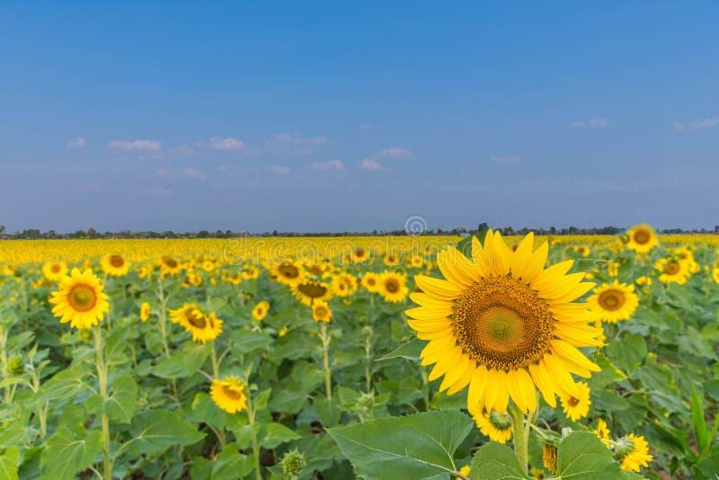 Piękny słonecznikowy rośliny pole z Sunn konopie, Indiański konopie, Madras konopie, Chanvre Indien, Crotalaria juncea, Crotalari obrazy stock