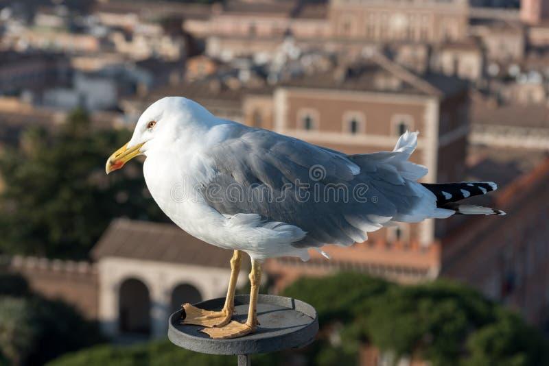 Piękny seagull w mieście obraz royalty free