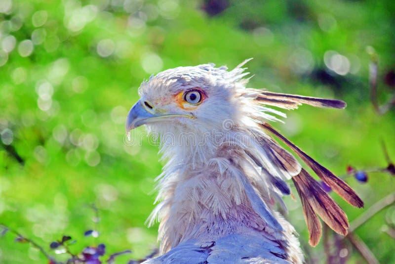 Piękny sekretarka ptaka głowy Portratit zbliżenie zdjęcie stock