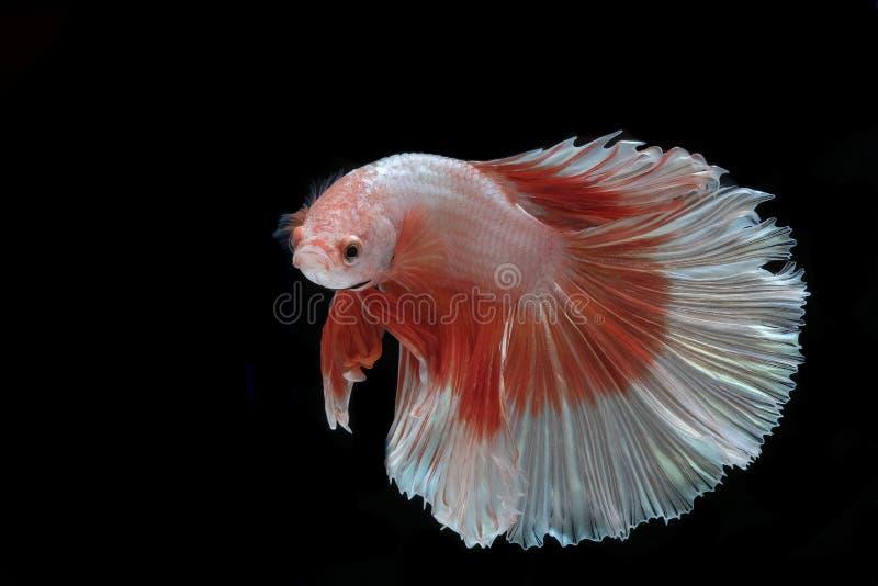 Pi?kny Siam Betta ryba w Thailand na czerni obraz royalty free