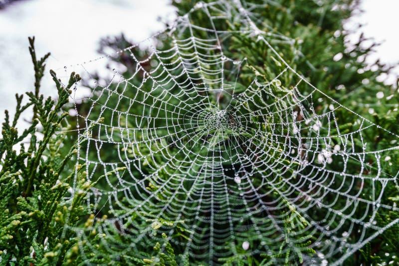 Piękny spiderweb zakrywający w błyszczenie kroplach rosa na zielonym drzewie w tle obraz stock