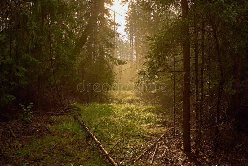Piękny sposób między drzewami w mgłowym lesie obrazy stock