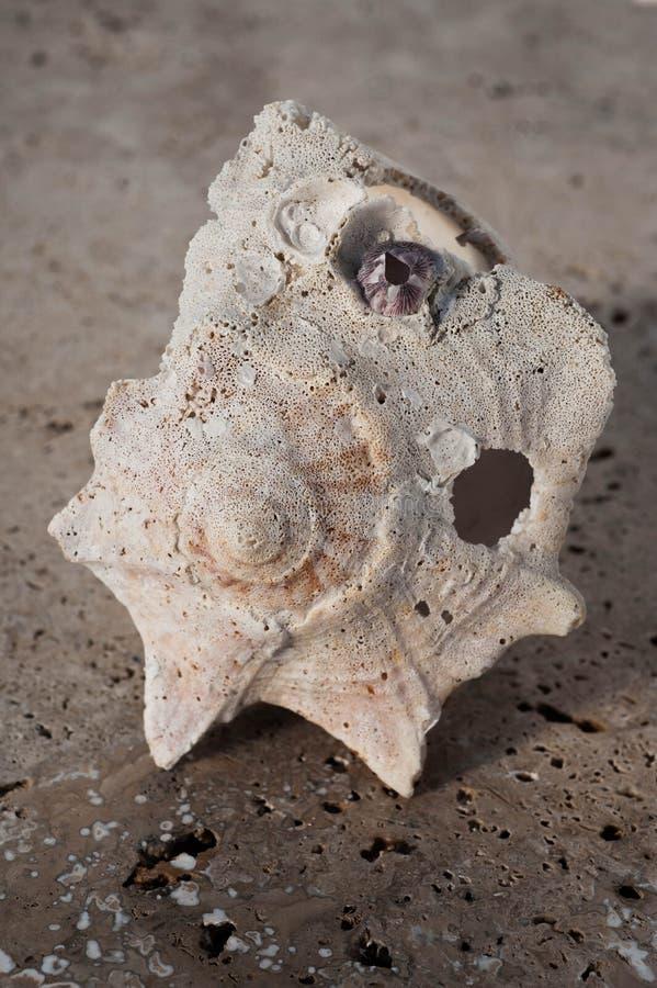 Piękny Stary Będący ubranym Seashell fotografia royalty free