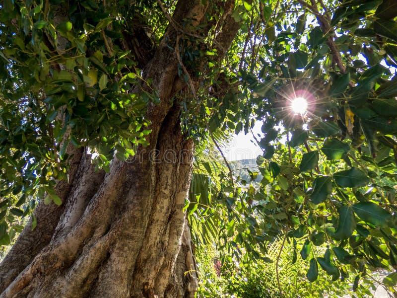 Piękny stary drzewo w parku zdjęcia royalty free
