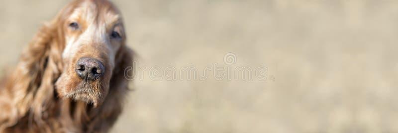 Piękny stary Irlandzkiego legartu pies zdjęcie royalty free