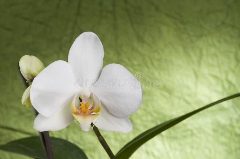 piękny storczykowy biel fotografia stock