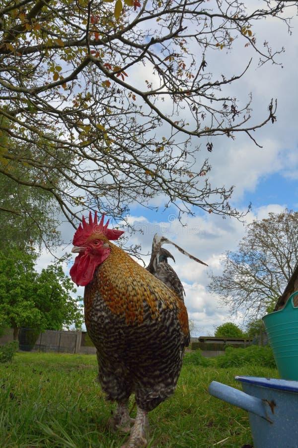 Piękny stubarwny opierzony kogut w ogródzie zdjęcie royalty free
