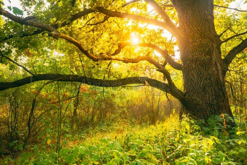 Piękny Sunset Sunrise Sun Sunshine W Sunny Autumn Oak Forest Sunlight Belki Przez las Trunk W Lesie obraz royalty free