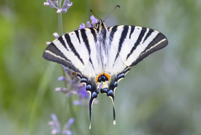 Piękny Swallowtail motyli obsiadanie na lawendowym kwiacie zdjęcia royalty free