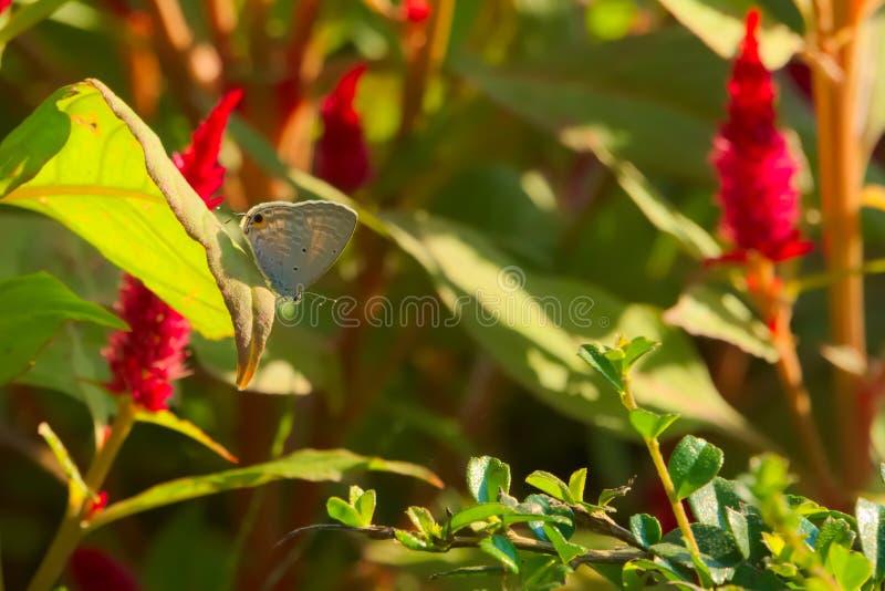Piękny szary Tajlandzki motyl na liściu, stoi out od czerwonego kwiatonośnego tła w Tajlandzkim ogródu parku, obrazy royalty free