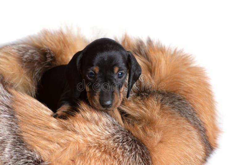 Piękny szczeniaka jamnik siedzi na skórze szop pracz i patrzeje naprzód fotografia royalty free