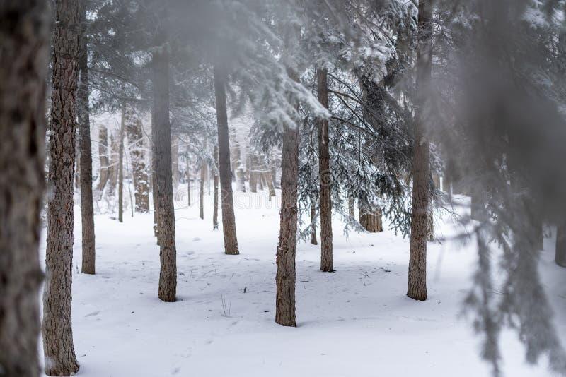 Piękny szeroki sosny i brzozy drzewa las zakrywający w śnieżny b zdjęcia stock