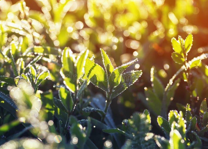Piękny tło jaskrawa luksusowa zielona trawa zakrywająca z shi obrazy stock
