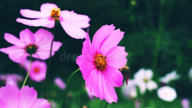 Piękny tło z menchia kwiatem w parku zdjęcie stock
