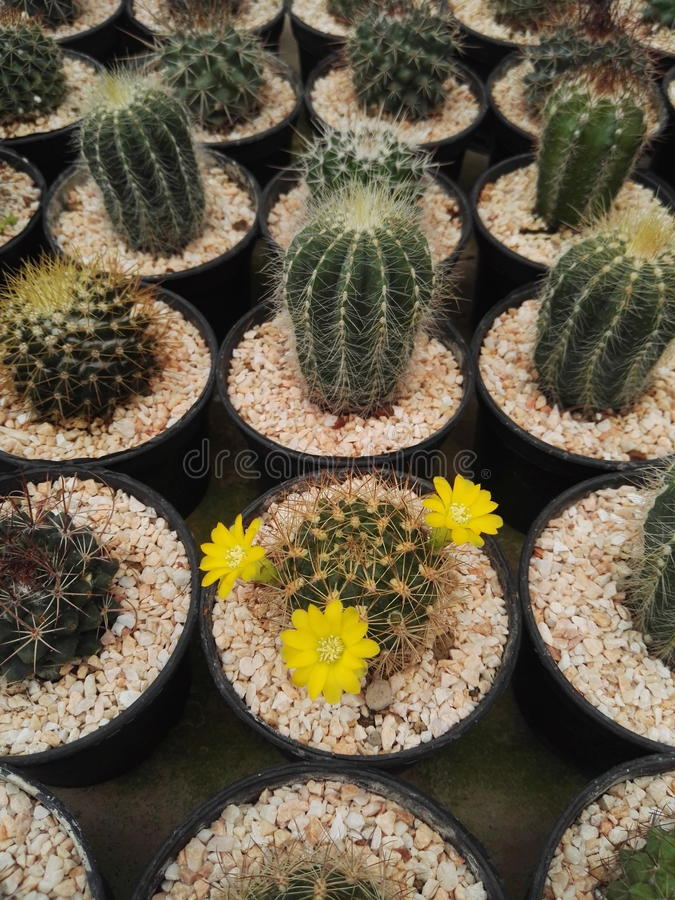 Piękny Tłustoszowaty kaktus obraz stock