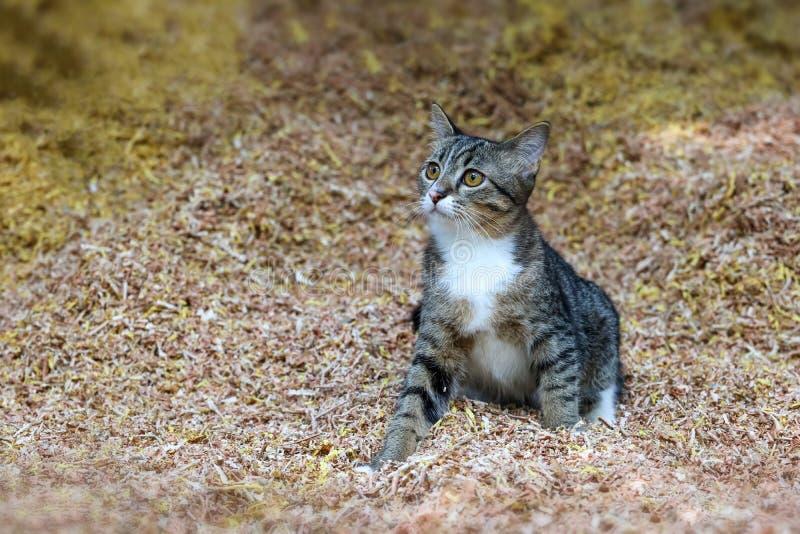 Piękny tabby kot bawić się na trociny zdjęcia royalty free