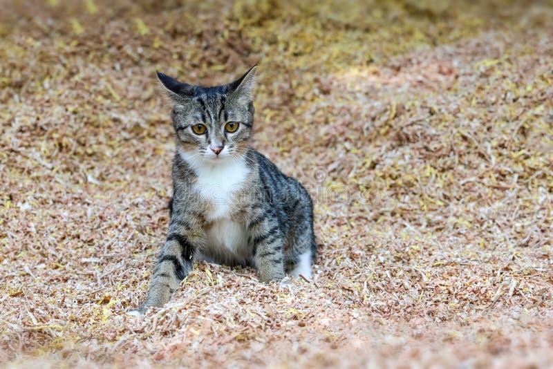 Piękny tabby kot bawić się na trociny obraz stock