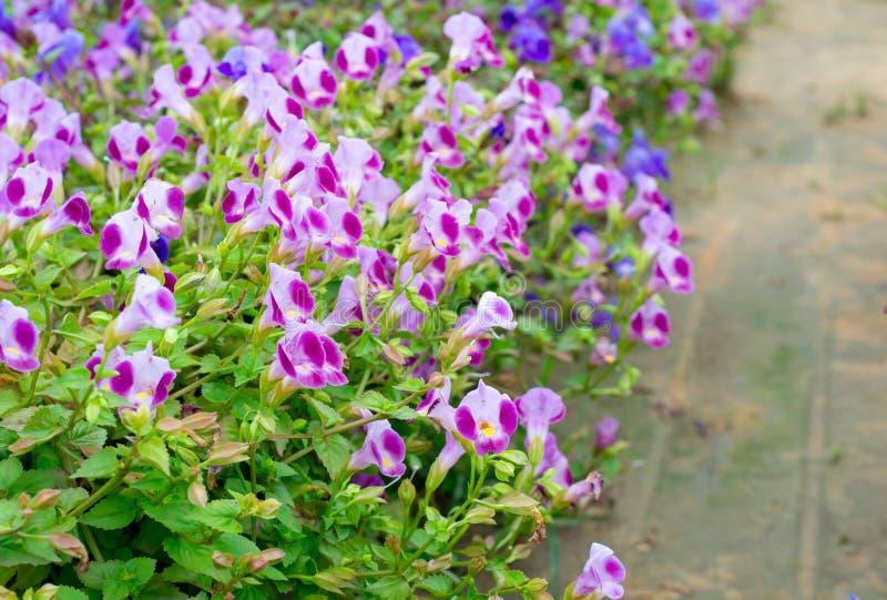 Torenia kwiat obraz royalty free