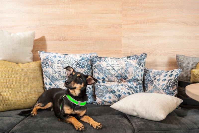 Piękny trochę adoptowany czarny teriera pies kłama na poduszkach na kanapie zdjęcie stock
