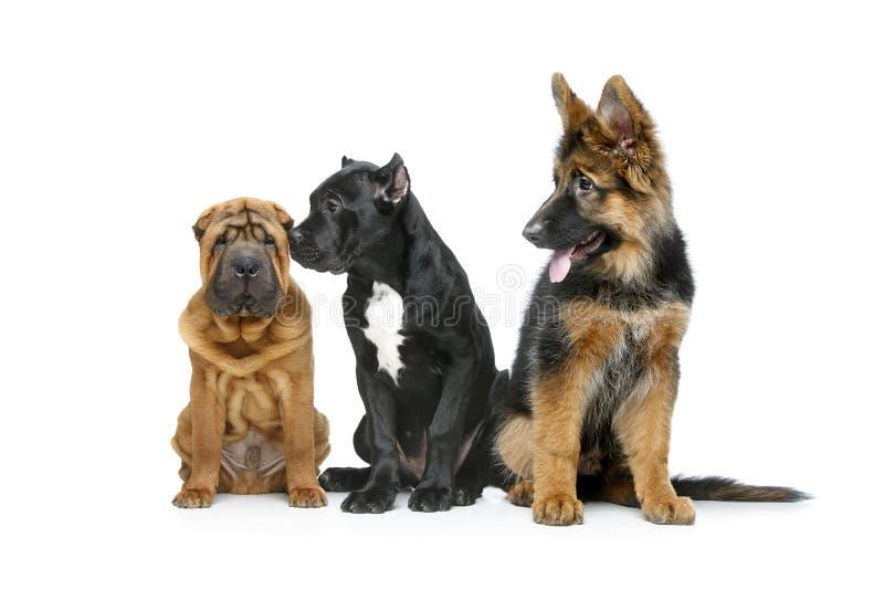 Piękny trzy szczeniaka psa zdjęcia stock
