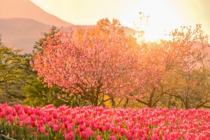 Piękny tulipan, kwiaty kwitnie w wiosna dniu z wschód słońca zdjęcie royalty free