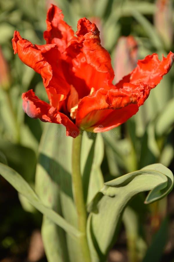 Piękny tulipan z fryzującymi płatkami zdjęcie royalty free