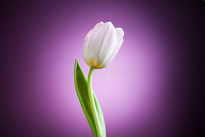 Tulipanowy kwiat fotografia royalty free