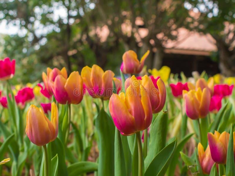 Piękny tulipanu ogród na plamy tle obrazy stock