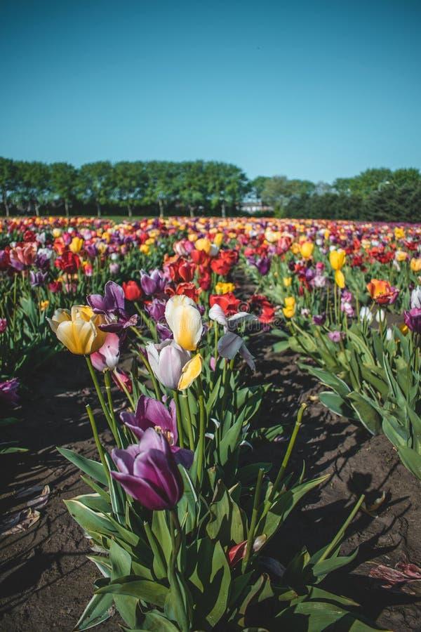 Piękny tullip pole w holandiach podczas wiosny obrazy stock