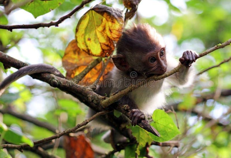Piękny unikalny portret dziecko małpa przy małpami lasowymi w Bali Indonezja, ładny dzikie zwierzę fotografia royalty free