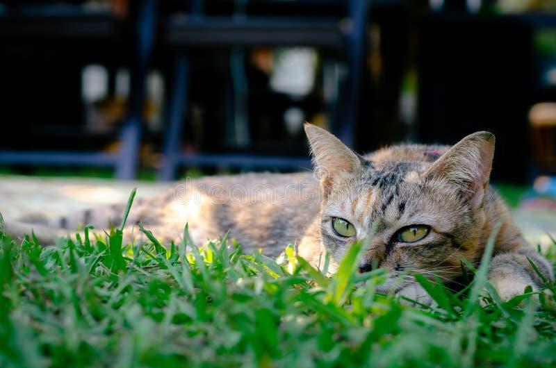 Piękny uroczy lamparta koloru kot kłaść na trawie fotografia royalty free