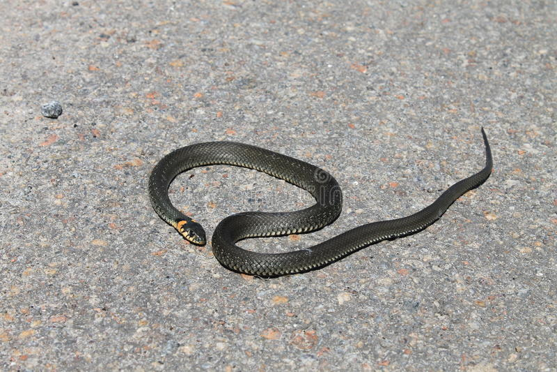 Piękny wąż odpoczywa w słońcu obrazy royalty free