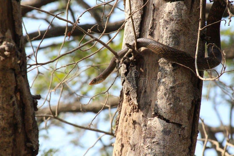 Piękny wąż w drewnach obrazy royalty free