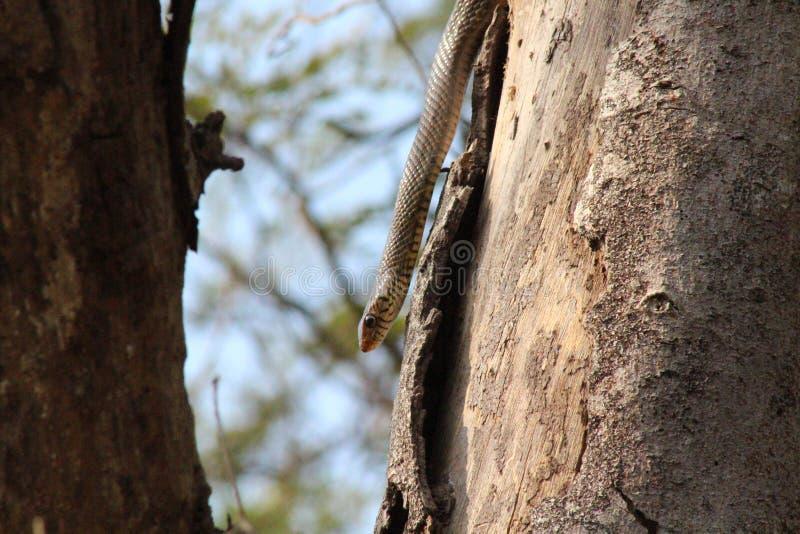 Piękny wąż w drewnach fotografia stock
