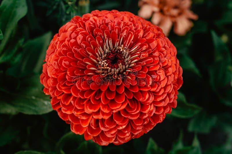 Piękny w górę czerwonego dalia kwiatu z wodnymi kropelkami po deszczu Makro- w g?r? fotografii Fotografia w colour fotografia royalty free