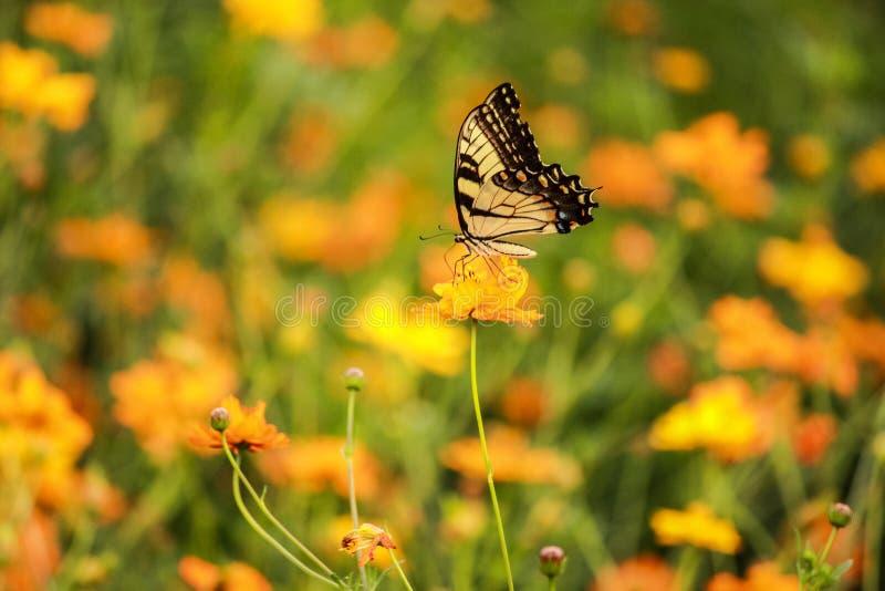 Piękny w górę wizerunku swallowtail motyl w ogródzie fotografia stock