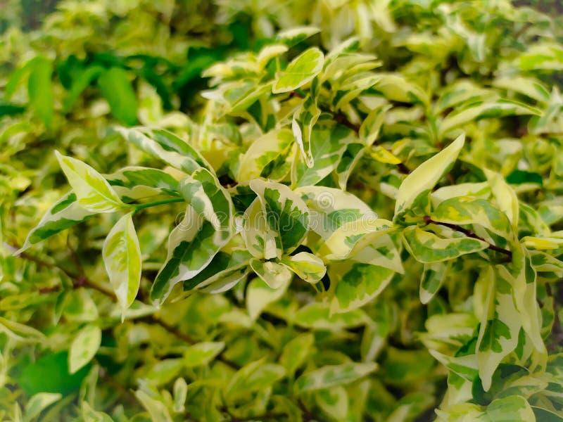 piękny w liść zieleni w wrightia religiosa Benth i kolorze żółtym, variegata obraz stock