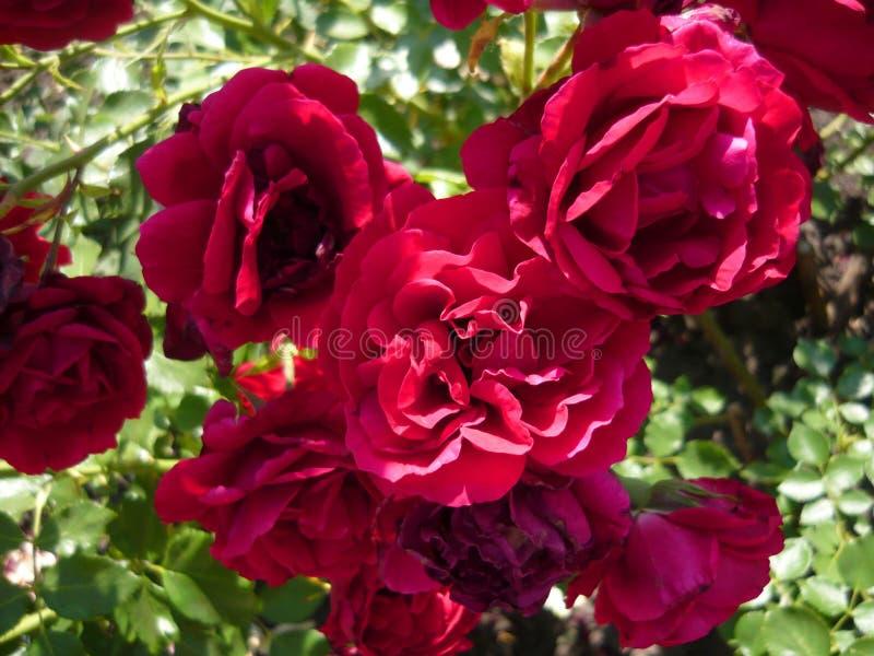 Piękny wałkoni się róże Wspania?y r??any krzak fotografia stock