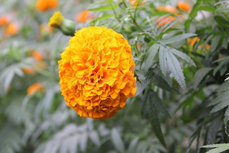 Piękny wibrujący nagietka kwiat zdjęcie stock