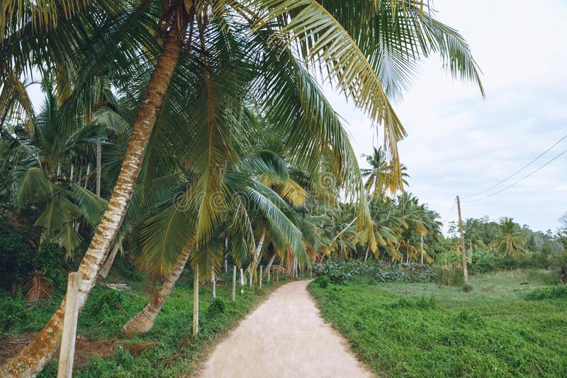 piękny widok drzewka palmowe wzdłuż ścieżki, mirissa, fotografia stock