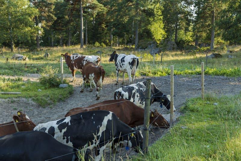 Piękny widok grupa kolorowe krowy w polu na pięknym letnim dniu rolnictwa comcept zdjęcia royalty free