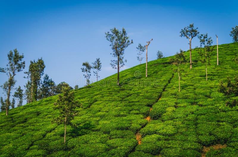 Piękny widok Herbaciana nieruchomość zdjęcia stock