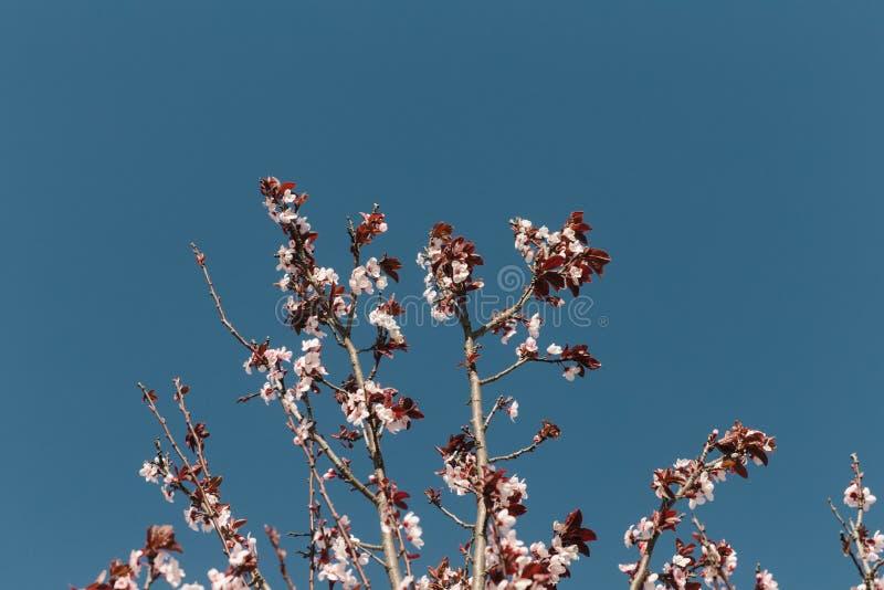 Piękny widok Jasny niebieskie niebo Z drzewem z Różowymi kwiatami, zdjęcie stock