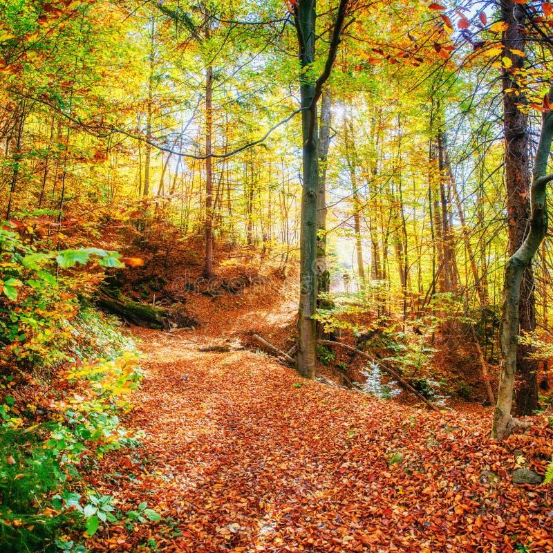 Piękny widok las na słonecznym dniu Jesień krajobraz carpathians Ukraina fotografia royalty free
