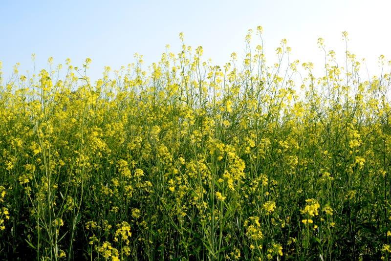 Piękny widok musztarda kwiaty i roślina fotografia royalty free