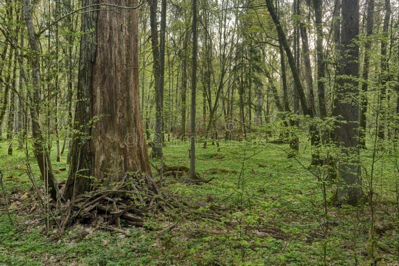 Piękny widok na oryginalny las Białowieski, Polska zdjęcia stock